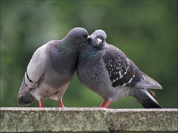Mơ thấy chim bồ câu có điềm báo gì? đánh con số nào?