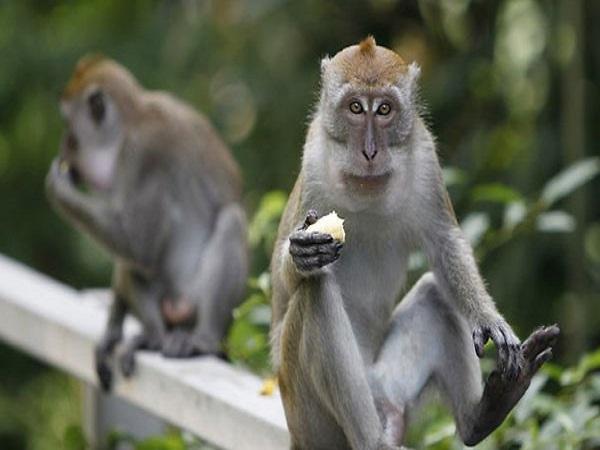 Ngủ mơ thấy con khỉ có điềm báo gì? đánh con số nào?