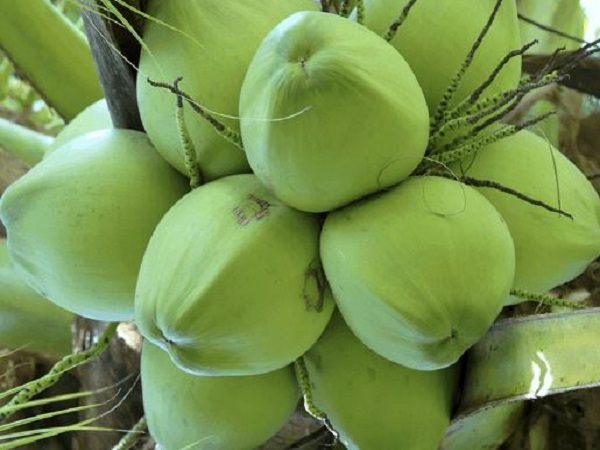 Ngủ mơ thấy quả dừa có điềm báo gì và đánh đề số mấy?