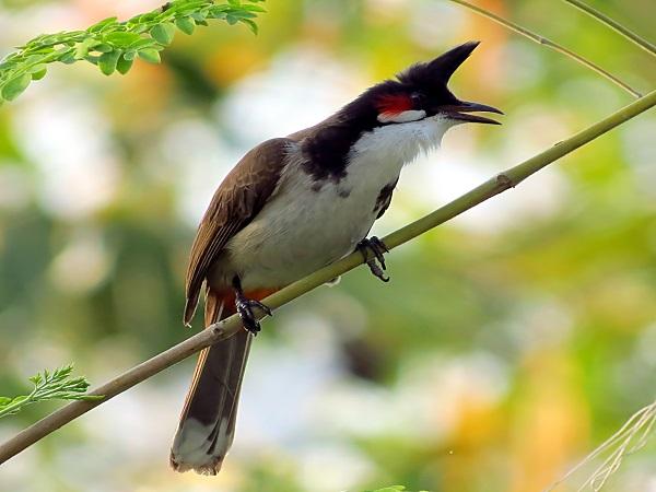 Mơ thấy chim chào mào có điềm báo gì và chọn con nào?